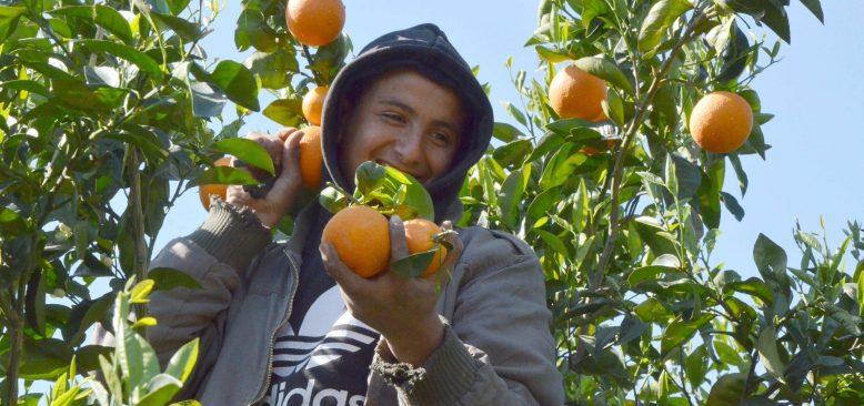 Antalya'da 'yaz portakalı' hasadı başladı