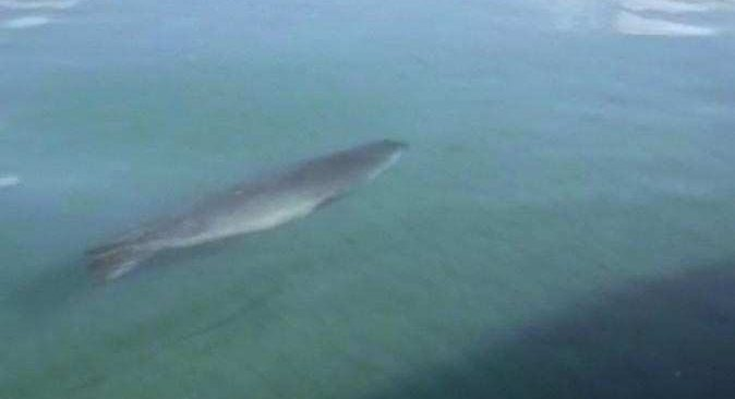 Nesli tükenmekte olan Akdeniz Foku Demre'de görüldü