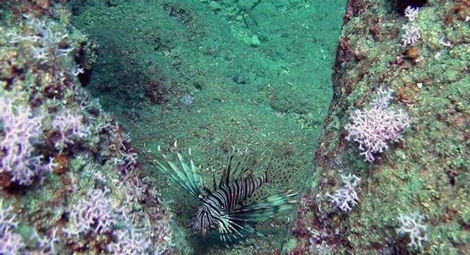 Aslan balıkları falezlerin habitatına zarar veriyor!