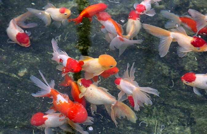 Akvaryum balığı üretim miktarı 1 milyonu aştı