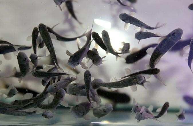 Antalya'da üretilen doktor balıklar sağlık turizmine katkı sağlayacak