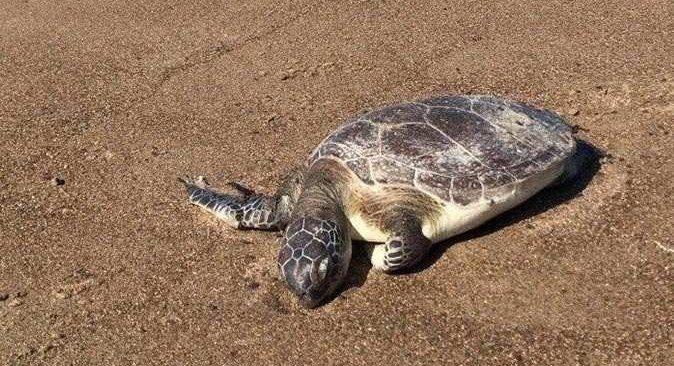 Aksu'da caretta caretta sahilde ölü bulundu