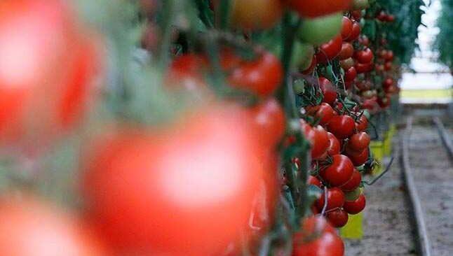 Antalya domates hırsızlığı! Tam 3 ton çaldılar