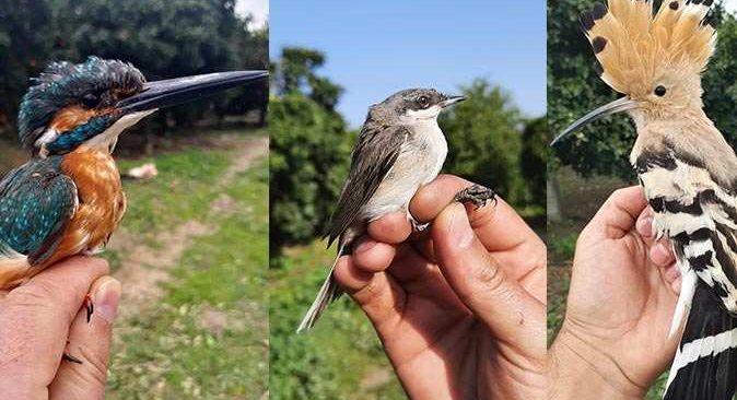 Halkalanan kuş 4 yıl sonra yeniden Serik'te görüldü