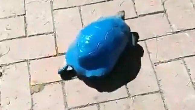 Antalya'da skandal olay! Kaplumbağayı maviye boyadılar