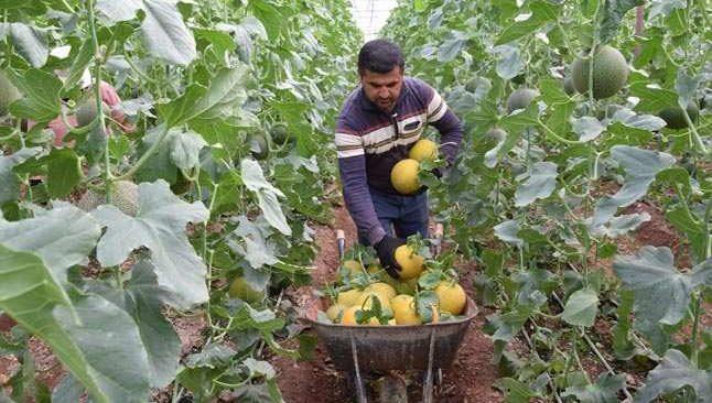 Antalya'da turfanda kavun hasatı başladı... Tanesi 30TL
