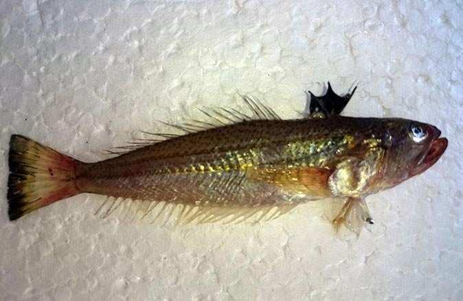 Prof. Dr. Mehmet Gökoğlu'ndan trakonya balığı uyarısı