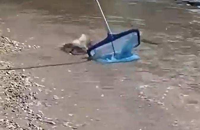 Sahil kıyısında görülen balon balıkları paniğe neden oldu