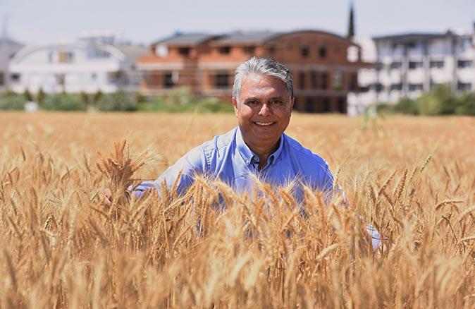 Antalya'nın kalbinde sapsarı buğday tarlası