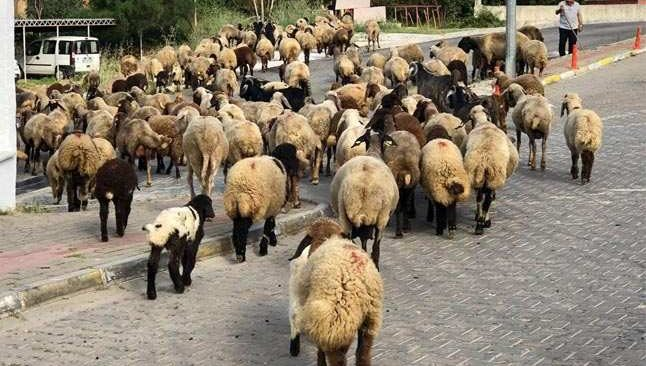 Antalya'da sokaklarını mera gibi kullandı