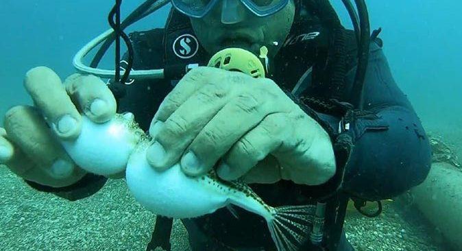 Ünlü profesör siyanürden bin 200 kat daha zehirli balon balıklarını elleriyle besledi