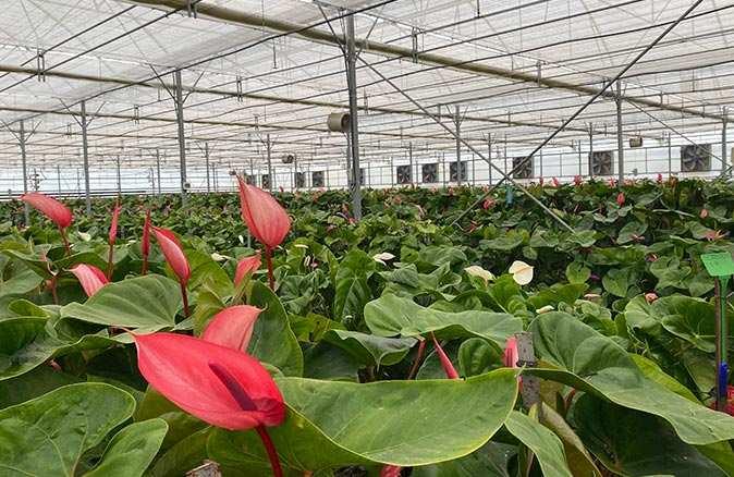 Antoryum çiçeği Antalya'dan Avrupa ülkelerine gönderiliyor