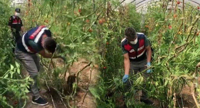 Jandarmadan domates serasına uyuşturucu baskını! Gözaltına alındılar