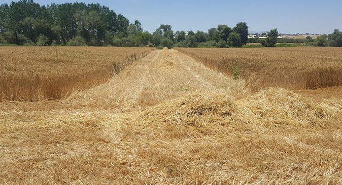 Akdeniz Üniversitesi Ziraat Fakültesi buğday hasadında rekor kırdı