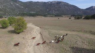 Yılkı atları Antalya'da özgürlüğün sembolü oldu