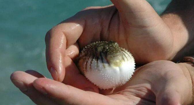 Balon Balığı Avcılığının Desteklenmesine İlişkin Tebliğ Resmi Gazete'de yayımlandı