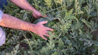 Adana karpuzu 8 ülkede ağızları tatlandırıyor