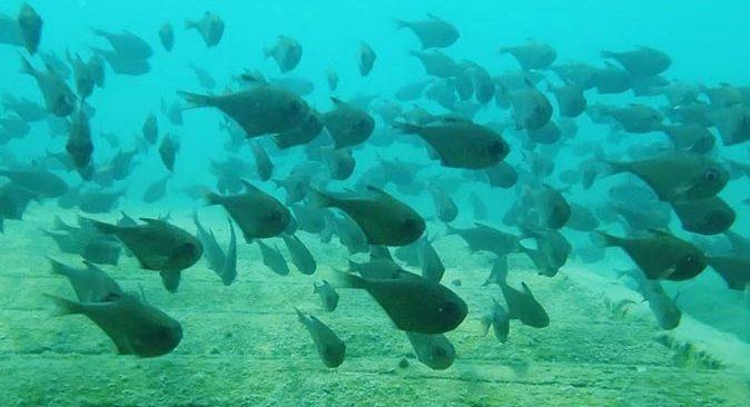 Antalya'da üçgen balıklarının görsel şöleni