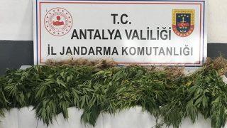 Antalya'daki operasyonda 50 kök kenevir ele geçirildi