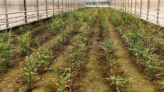 Muratpaşa'da ekilen zencefiller filizlendi