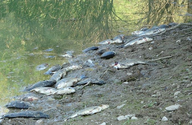 Manavgat'taki göletler balık mezarlarına dönüştü
