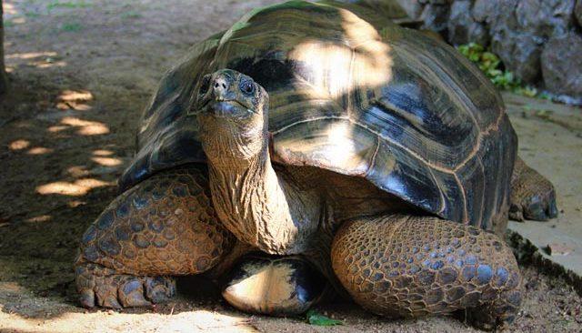 Bu kaplumbağa Cumhuriyet ile yaşıt