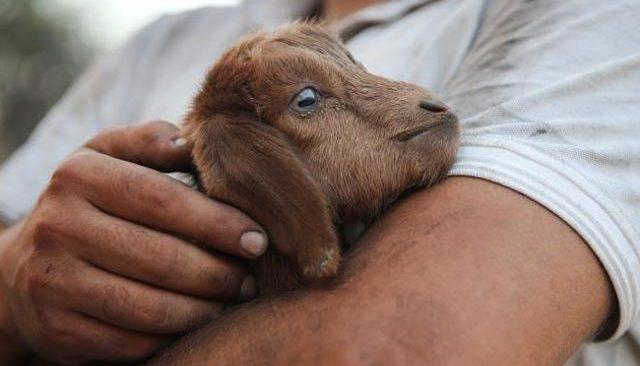 Alevlerin arasında mucize! Hamile keçi doğurdu