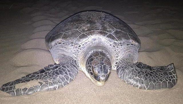 Patara Plajı'na 9 yıl sonra yeşil deniz kaplumbağası yuva yaptı