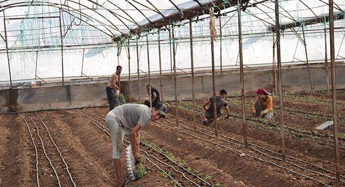Kumluca'da güz dönemi domates ekimleri başladı