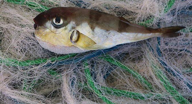 Antalya'da bulunan fabrikada balon balıklarına özel ağ üretimi