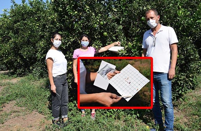 Antalya'da Akdeniz Meyve Sineği alarmı! Portakallara sıkı denetim yapılıyor