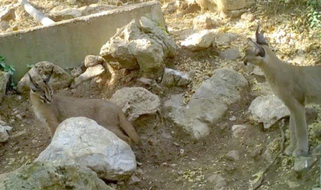 Ormanın hayalet kedisi Antalya'da