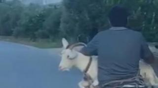Antalya'da keçinin motosikletle yolculuğu gülümsetti