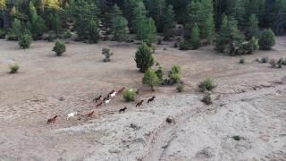 Antalya'daki yangın sonrası 'yılkı atları' yaşam alanlarına geri döndü