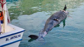 Antalya'da yalancı katil balina kıyıya vurdu! Balıkçılar ilk kez gördü...