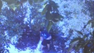 Antalya'da avokado bahçelerine dadanan hırsızlar üreticiyi isyan ettirdi
