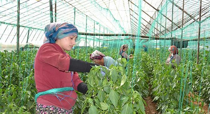 Antalya'da kahvaltılık biberler Avrupa ülkelerine ihraç ediliyor