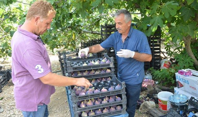 Torosların yüksek kesimlerinde incirde hasat sezonu sona erdi