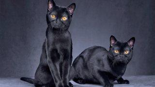 Kara kedilerin suçu yok! Uğursuzluk getirdiği inancı nereden geliyor?